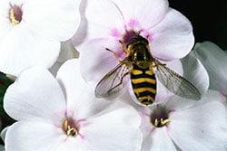 abeilles5